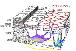 ランゲルハンス細胞(皮膚断面図)2